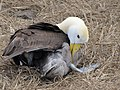 Albatross birds - Espanola - Hood - Galapagos Islands - Ecuador (4871673626).jpg