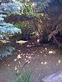 Albino peacock (3049026483).jpg