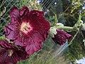 Alcea rosea 141755583.jpg