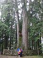 Alisan 2000years tree.JPG