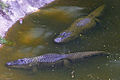 Alligators-Safari2011RG0202.jpg
