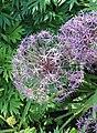 Allium cristophii BotGardBln 20170610 G.jpg