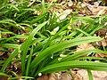 Allium paradoxum 26-04-2010 545.jpg