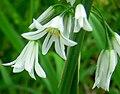 Allium triquetrumElbaIsland.jpg