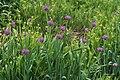 Allium validum.jpg
