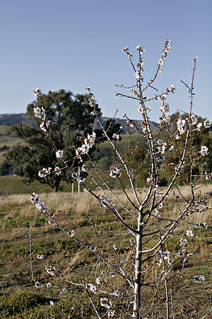 Fruit tree - A flowering almond tree
