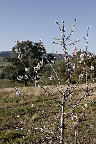 Fruit tree - An almond   tree in bloom