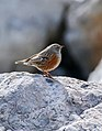 Alpine Accentor (Prunella collaris) (38213090311).jpg