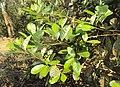 Alseodaphne semecarpifolia 26.JPG