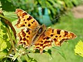 Amandabhslater - Comma Butterfly (by-sa).jpg