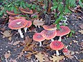 Amanita muscaria group.jpg