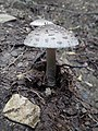 Amanita pantherina100.jpg