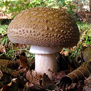 Amanita rubescens fungus in Denny Wood, New Forest - geograph.org.uk - 256724.jpg