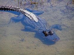Un alligator américain, dans les Everglades, en Floride. Seuls ses yeux et son nez dépassent de l'eau.