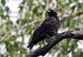 American Crow (4436722871).jpg