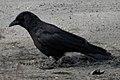 American Crow (Corvus brachyrhynchos) - Kitchener, Ontario 2019-03-27 (01).jpg