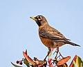 American Robin (39405616244).jpg