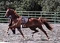 American Saddlebred4.jpg