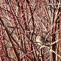 American Tree Sparrow (Spizella arborea).JPG