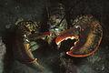 American lobster, Homarus americanus in Newfoundland, Canada (20996211958).jpg