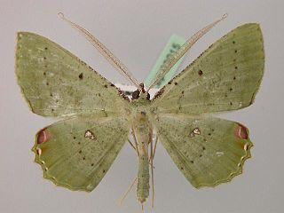 <i>Ametris nitocris</i> Species of moth