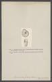 Ammonites falcula - - Print - Iconographia Zoologica - Special Collections University of Amsterdam - UBAINV0274 005 10 0010.tif