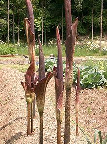 Amorphophallus konjac - Wikipedia, la enciclopedia libre