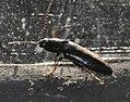 Ampedus-nigrinus-02-fws.jpg