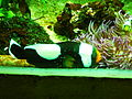 Amphiprion polymnus 0001.jpg