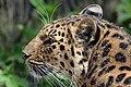 Amur Leopard (46872839114).jpg