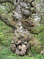 An old oak - geograph.org.uk - 1461589.jpg