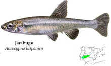 Anaecypris hispanica ext.PNG