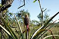Ananas - 1.jpg