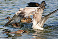 Anas platyrhynchos with food - chased by juvenile gulls.jpg