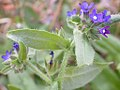 Anchusa officinalis (3703460189).jpg