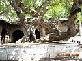 Ancient Tree at Mahakuta Temple complex - panoramio.jpg