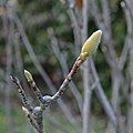 And now the Magnolia is waiting for Spring (8206006562).jpg