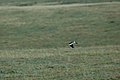 Andean Lapwing 2015-06-03 (7) (40264827872).jpg