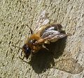 Andrena sp. Female - Flickr - gailhampshire.jpg