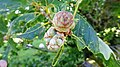 Andricus foecundatrix (Oak Artichoke Gall), Lochailort, Highland Council, Scotland.jpg