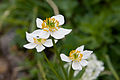 Anemone narcissiflora 15.jpg