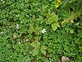 Anemone rivularis (7760464526).jpg