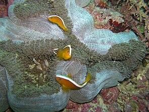Mertens Anemone (Stichodactyla mertensii) mit Amphiprion sandaracinos