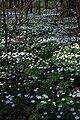 Anemonen im Laubwald 3275.JPG