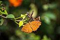 Angled Castor butterfly.jpg