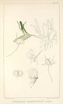 Angraecum conchiferum.jpg