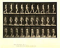 Animal locomotion. Plate 16 (Boston Public Library).jpg