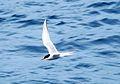 Antarctic Tern.jpg