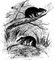 Antechinus Mus Mivart.png