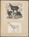 Antilope rupicapra - 1700-1880 - Print - Iconographia Zoologica - Special Collections University of Amsterdam - UBA01 IZ21400213.tif